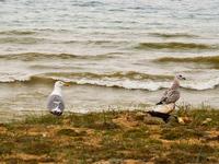 Редкая серая чайка и попсовая белая