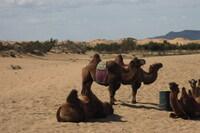 А где дюны - там и верблюды